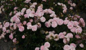 Сорт «Ларисса» предпочитают поклонники классического цвета роз, тем более, что продолжительное цветение длится до заморозков
