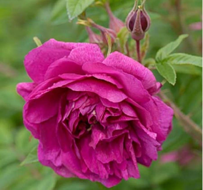 Сорт «Царица севера» выведен знаменитым садовником Э. Регелем, в 1879 году.
