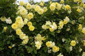 «Golden Gate» в буквальном переводе означает «Золотые ворота». Во время обильного цветения, будто приглашает войти в сад и приятно провести отдых.