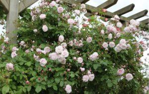 Сорт • Blush Noisette при хорошем уходе вырастают выше двух метров, указанных в описании растения. В теплом климате ведут себя, как плетистые розы.