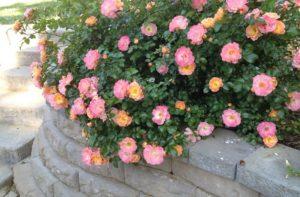 Дрифт-розы можно использовать в качестве контейнерных, бордюрных или почвопокровных.