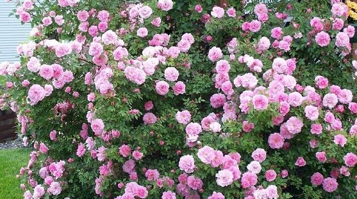 Гибриды Kordesii, такие как роза JohnDavis, зимуют в средней полосе России без укрытия