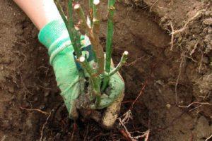 Обогащённый компост обеспечит розы питанием на весь первый год после посадки.