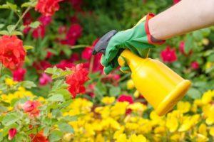 Весной и летом полезно после обрезки опрыскивать розы стимуляторами «Эпин» или «Циркон».