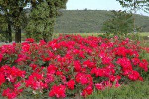 Неприхотливость «Кнок аут» (Knock out) к условиям выращивания и устойчивость к неблагоприятному влиянию, считается непревзойденной среди всех существующих сортов роз
