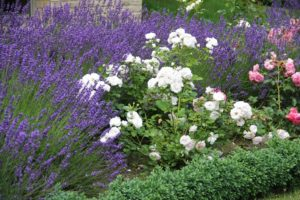 Соседство с розами лаванды не только красиво, но и полезно, как профилактическое средство борьбы с вредителями.