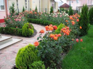 Летом декоративный эффект создает цветение роз в живой изгороди. Зимой, хвойные растения выходят на первый план и скрадывают неприглядность оголенных побегов роз.