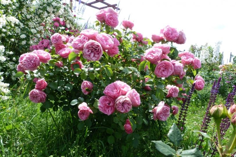 Сорт «Леонардо да Винчи» отличается обильным цветением и устойчивостью к заболеваниям.
