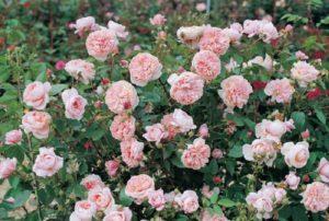 Обильно цветущий сорт «Colette» - один из наиболее устойчивых к ржавчине роз.