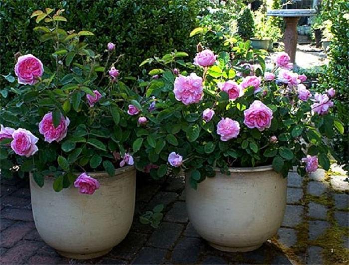 Миниатюрные розы высаживают в садовые горшки, вазы, ящики. Такие посадки на зиму переносят в зимний сад или сохраняют в прикопе, то есть помещают в землю вместе с емкостью.