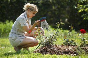 Для сохранения влаги после полива, почву под кустами мульчируют.