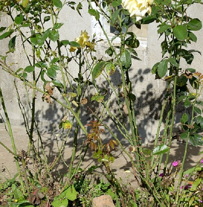 Растение, поражённое грибковым заболеванием, отстаёт в росте, качество цветения ухудшается. Заболевание может распространять на соседние растения.