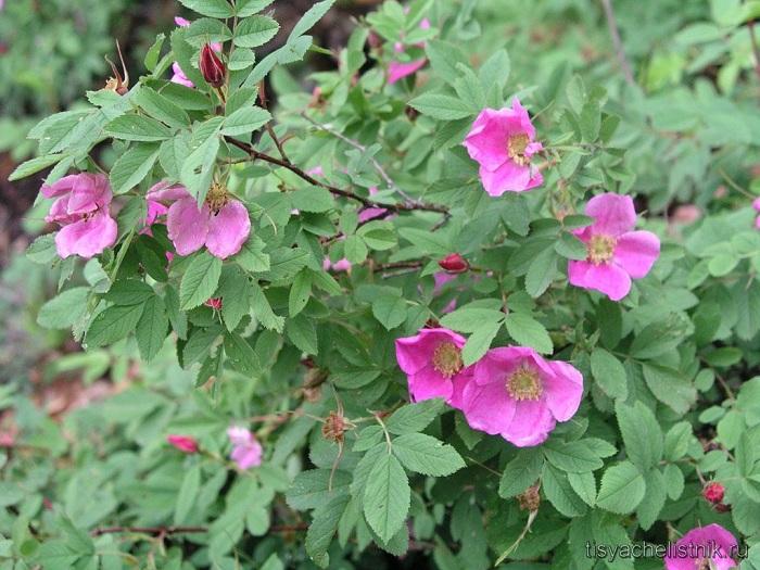 Цветы шиповника в диком виде. Но существующие на сегодняшний день сортовые виды шиповника могут иметь вполне махровые и сложные соцветия.