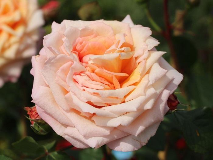 В полном роспуске цветок розы сорта Barock держится 4-5 дней.