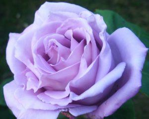 Помимо чарующего цветка, достоинством плетистой розы Blue Moon Cl. являются гибкие побеги с малым количеством щипов.