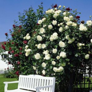 Самоочищающаяся роза позволяет обойтись без постоянной уборки лепестков вокруг куста.