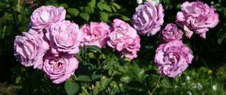 Лучшие сиреневые плетистые розы