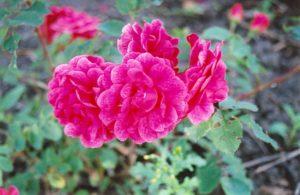 Канадская роза, сорт ««Morden Ruby».