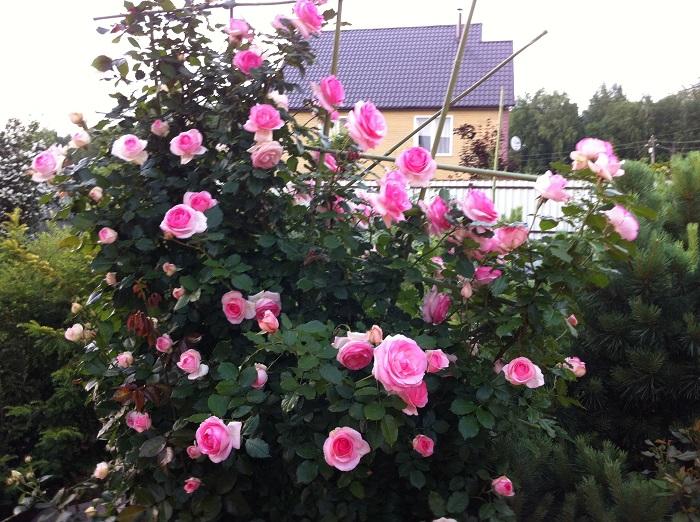 Плетистая роза «Пьер де Ронсар».