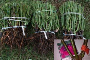 На питомнике саженцы отбирают по сортам и маркируют. В продажу поступает качественный посадочный материал, с хорошо развитой корневой системой. Каждое растение имеет отдельную этикетку с названием и краткой характеристикой. Растения, которые не соответствуют товарным требованиям, возвращаются на доращивание.