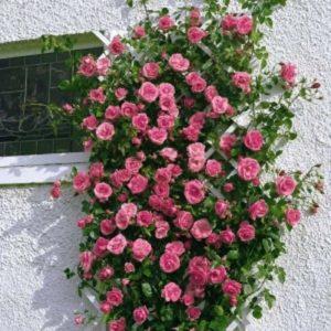 1. Сорт плетистой розы «Гаденберг» часто использую в качестве солитера.
