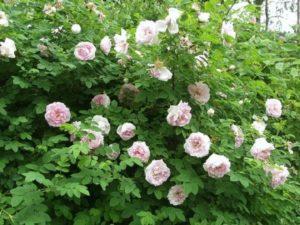 Парковая роза, сорт ««Martin Frobisher».