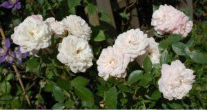 Роза миниатюрная плетистая «Старлет Роуз Алина».
