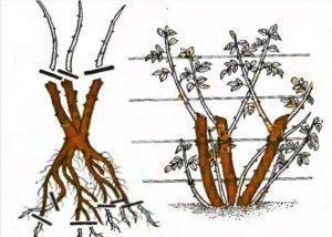 Если посадка прошла успешно, то чрез 2 – 3 недели на кусте появляются молодые листья. Примерно через месяц вырастает еще одна, две пары листьев. Тогда можно с уверенностью сказать, что роза прижилась. После этого кусты только поливают.