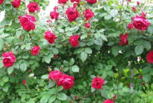 Хотя канадские розы имеют высокий иммунитет против болезней, всё же лучше не рисковать и подобрать участок в саду, где воздушные массы движутся свободно, (но без сквозняков). Такие условия обеспечивают хорошую аэрацию и не позволяют распространяться возбудителям болезней. (На фото, сорт «Квадра» - устойчивый к мучнистой росе и черной пятнистости).