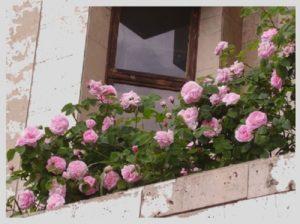 Плетистую розу на балконе можно направить горизонтально.