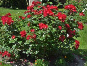 Кроме большого количества ярких цветков роза «Робуста» отличается декоративной глянцевой, восковидной листвой.