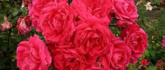 Роза парковая John Franklin