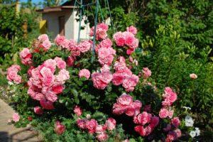 Плетистые розы для Урала. Куст розы Rosarium Uetersen достигает высоты 3,5 м, однако отлично выдерживает и обрезку до двух метров