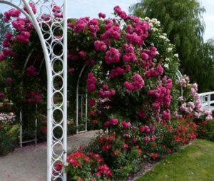Побеги розы Laguna прямые, с хорошим ветвлением, без проблем принимают форму опоры любого типа