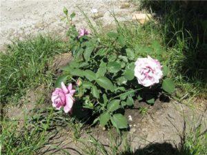 В подходящих условиях саженцы Blue Moon Cl. показывают первые цветки уже в год посадки.