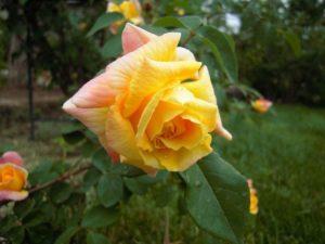У разных розоводов цветок розы Golden Parfum имеет разные характеристики.
