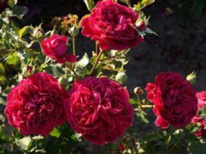 Главное достоинство розы William Sheakespeare – высокая декоративность цветка.