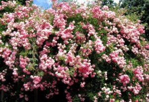 Плетистые розы в средней полосе лучше размещать на солнечных местах, прикрытых от холодного ветра
