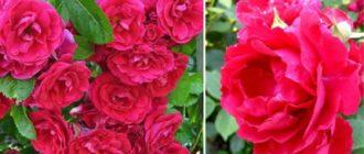 Роза плетистая «Блейз Супериор»