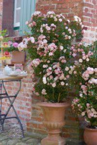 Объем емкости для розы «Старлет Роуз Алина», не менее 80 л.