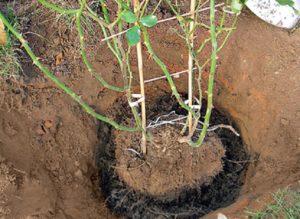 Для пересадки розы весной, ком формируют с осени.