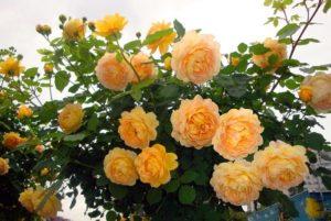 Английская роза «Голден Селебрейшн» (Golden Celebration).