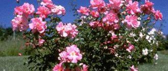 Роза парковая «Модэн»
