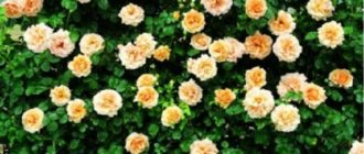 Плетистая роза «Полька»