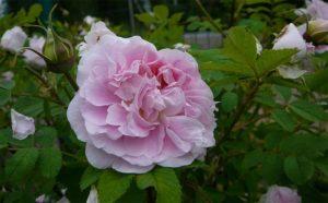 Наиболее насыщенный оттенок у розы в начале цветения, позже лепестки бледнеют.