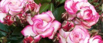 Плетистая роза «Хендель»