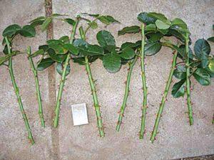 Для нарезки черенков выбирают зеленые побеги текущего сезона толщиной до 5 мм. Вырезают среднюю часть с 3 развитыми почками.