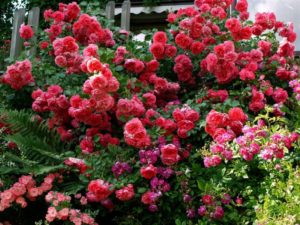 Rosarium uetersen прекрасно смотрится по соседству с цветами похожей (малиновой, красной, розовой), а также контрастной (белой, синей) окраски.