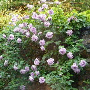 Розу Blue Moon Cl. лучше высаживать у южной стены, которая защитит куст от холодного северного ветра.
