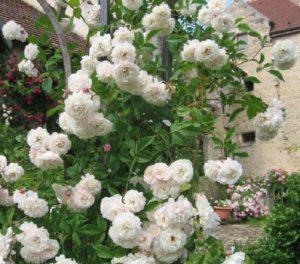 Розу Colonial White можно также встретить в продаже под названием Sombreuil.